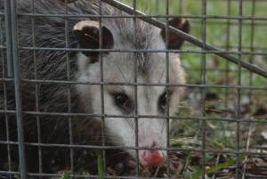 possum control, possum trapping