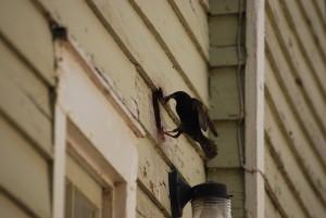 st jospeh bird control, pigeon spiking, bent harbor starling removal