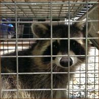 raccoon control, raccoon removal, michigan raccoon trapping,