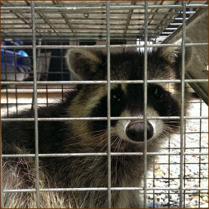 raccoon control, raccoon removal, michigan raccoon trapping,