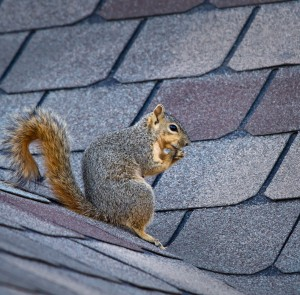 squirrel control, squirrel removal, squirrels in attic