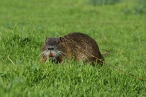 israeli beaver