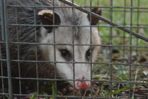Possum 065